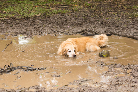 Golden retriever cooling off in the mud puddle after playing fetch the ball on summer day.