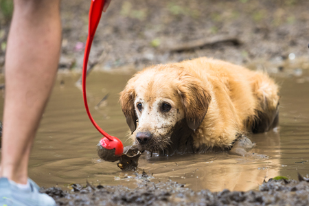 Golden retriever cooling off in a mud puddle after playing fetch the ball on summer day.