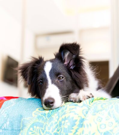 Rare Shetland sheepdog Black an White lying on the bed resting. Stock Photo