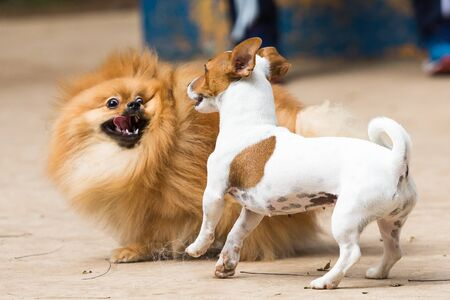 Puppy can get freaked out with Lulu from Pomerania. Imagens