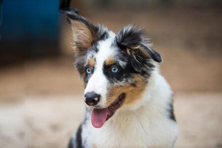 Portrait of an Australian Shepherd.