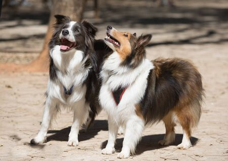 A Border Collie and a Shetland Shepherd walking in a park. 版權商用圖片