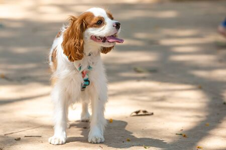 A little female Cavalier king charles spaniel