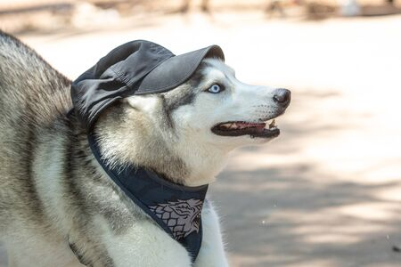Portrait of a Siberian Husky with a cap on his head.