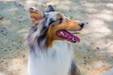 Portrait of a Rough Collie-Shetland sheepdog