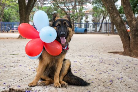 A German Shepherd celebrating his first birthday. Stock fotó