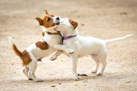 A couple of Jack Russel Terrier playing in a park.