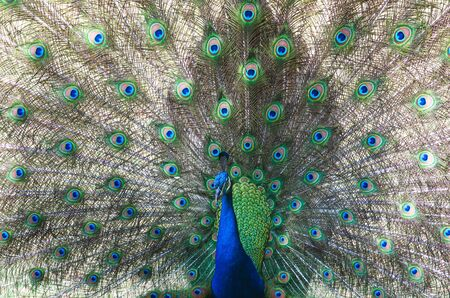 This is a large exotic bird. The beauty of the feathers and the exuberance of the colors in the tail of the peacock make this animal be considered an ornamental bird.