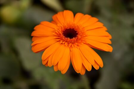 Gerbera jamesonii is a species of flowering plant in the genus Gerbera. It is indigenous to South Eastern Africa and commonly known as the Barberton daisy