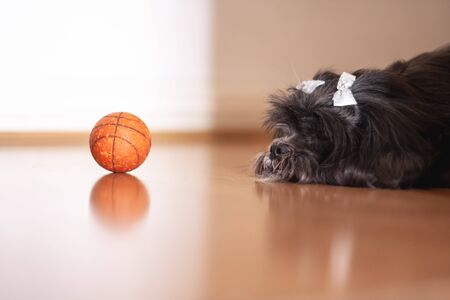 Lhasa apso female resting after playing with the ball.