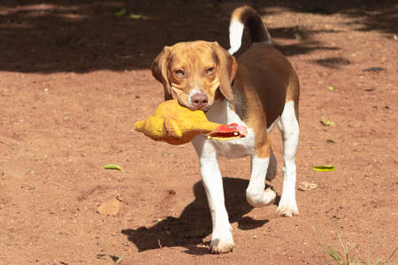 Beagle dog playing with a plastic chicken.