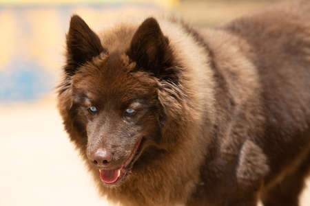Portrait of a brown Pomsky with blue eyes playing outdoors. Stock Photo