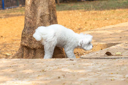 A Maltese male dog peeing in a tree, marking territory. Imagens
