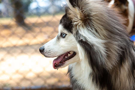 Portrait of a Pomsky with blue eyes playing outdoors.