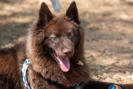 Portrait of a brown Pomsky with blue eyes playing outdoors. Imagens