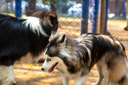Pomsky playing with a Shetland Shepherd in a park.