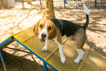 A Beagle dog exercising in a park.