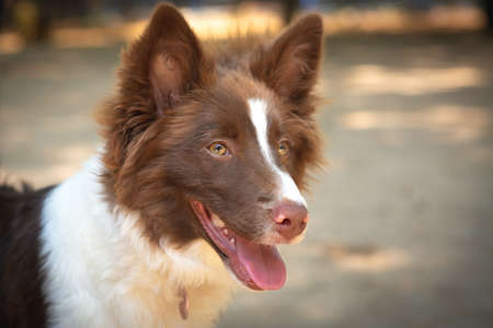 Portrait of a brown and white Border Collie puppy.