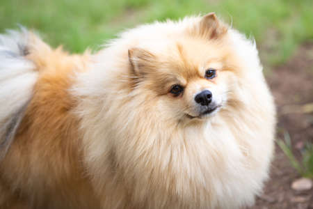 Portrait of a Pomeranian Lulu dog on the outdoor.