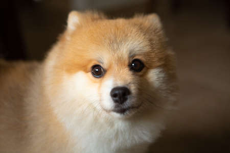 Portrait of a honey-colored German Spitz, companion dog. Imagens