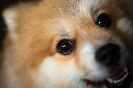 Portrait of a honey-colored German Spitz, companion dog.Pomeranian
