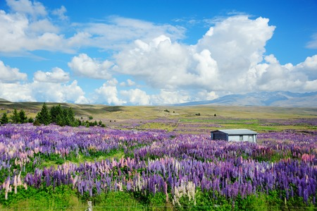 tekapo: Landscape with lupin field in Tekapo,New Zealand.