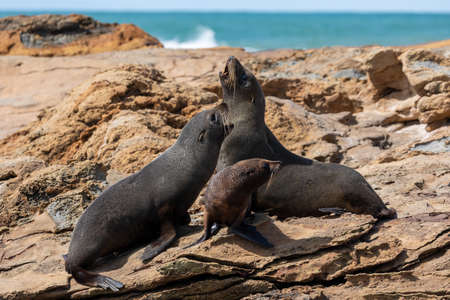A family group of Seals on the rocks at Shag Point