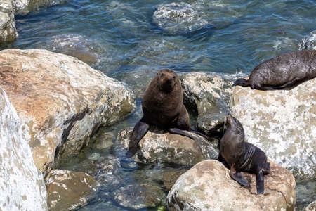 Seals on the rocks below Ohau Point, next to the sea, on the South Island of New Zealand. Stockfoto
