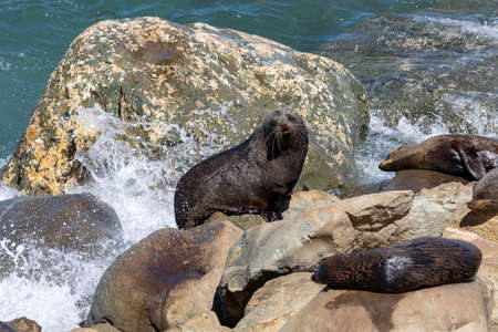 Seals on the rocks below Ohau Point as waves crash around them. On the South Island of New Zealand.