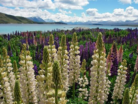 Lupines watching out over lake photo
