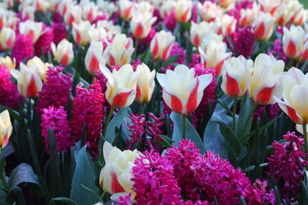 Pink and white spring flowers in Europe Stok Fotoğraf - 132615652