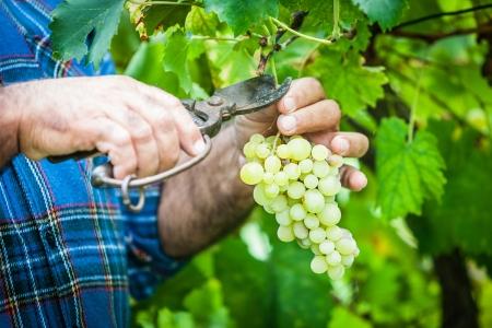 cueillette: Homme d'�ge r�colte les raisins dans la vigne