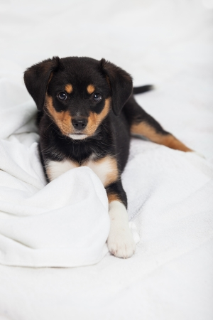 animal health: Little Dog on the Bed Stock Photo