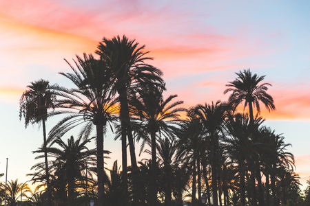 Palm trees silhouette at sunset in Majorca. Backlight view of palm trees with blue and orange sky on background. Nature and travel concepts.