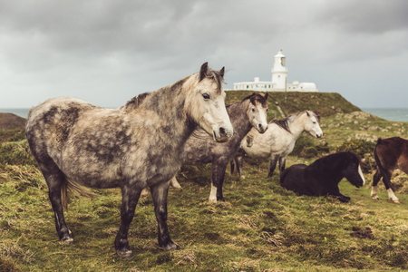 Wild horses in the countryside in Wales before a rain storm. Herd of ponies outdoors with a lighthouse on background. Nature and animals concepts.
