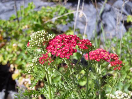 Red yarrow in bloom  Banco de Imagens