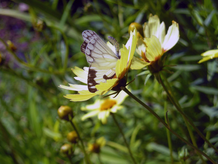 pollinators: A butterfly feeding from a flower