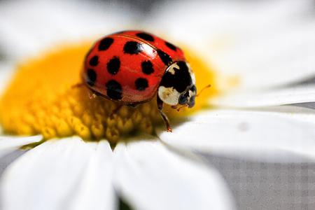 beetle ladybug on daisy flower