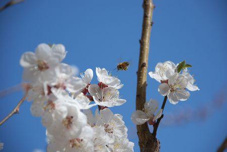 gathers: ape raccoglie il miele