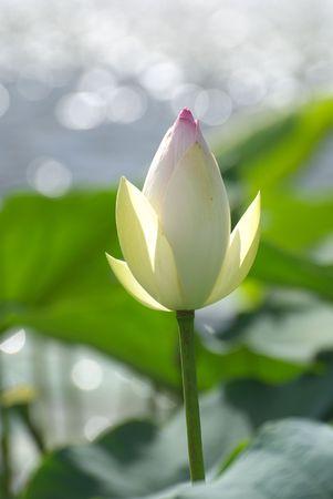 lotus bud Imagens