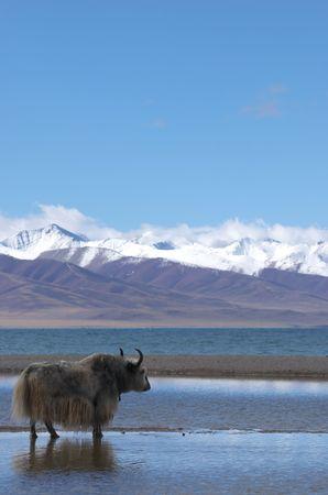 yak at Tibetan holy lake Imagens