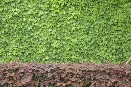 Boston ivy on wall Imagens