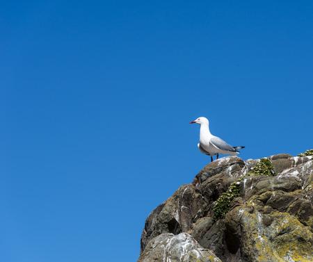 red beak: red beak seagull