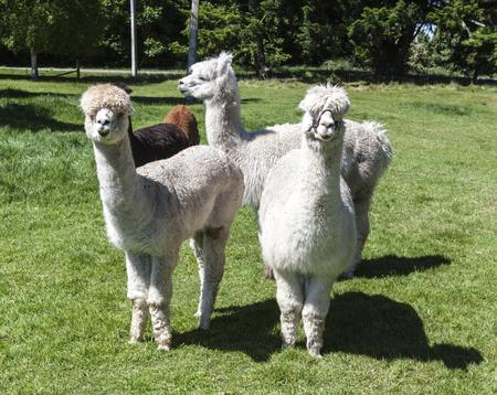 alpaca Imagens