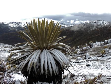 Frailejon (Espeletia schultzii) Sierra Nevada, Merida, Venezuela Imagens - 34968675