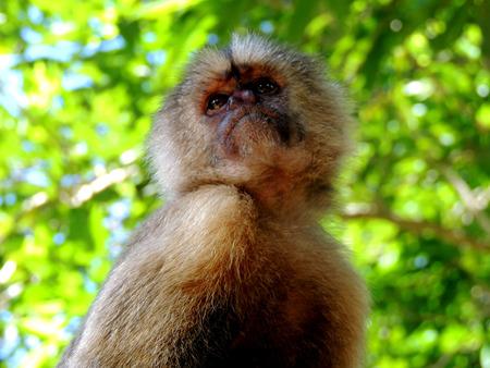 capuchino: Mono Capuchino Stock Photo