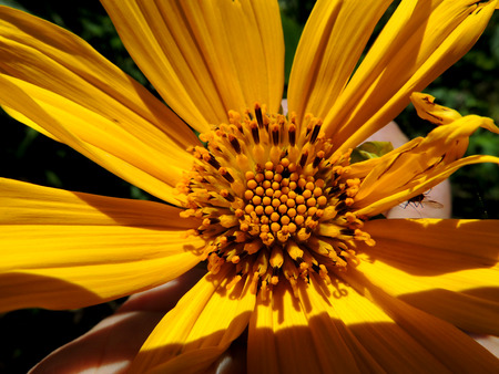 botanica: Sunshine Yellow-Tithonia diversifolia Stock Photo