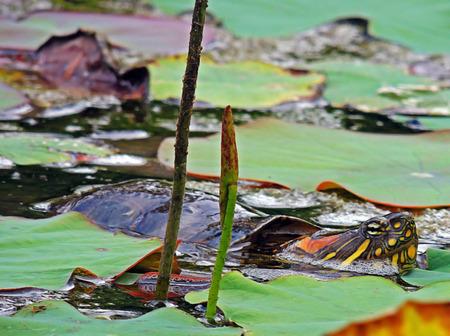 That Turtle sample of amphibians inhabit the Botanical Gardens park in Merida, Venezuela. Stock Photo