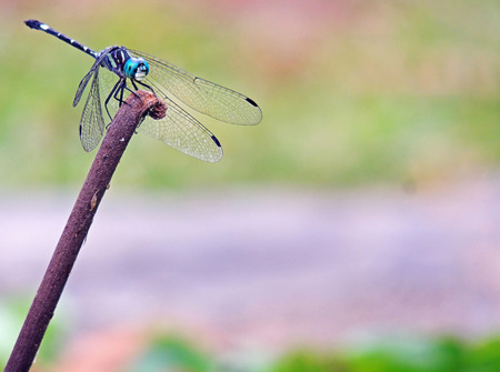 hexapoda: Dragonfly, Anisoptera Class: Hexapoda. Botanical Gardens Merida, Venezuela