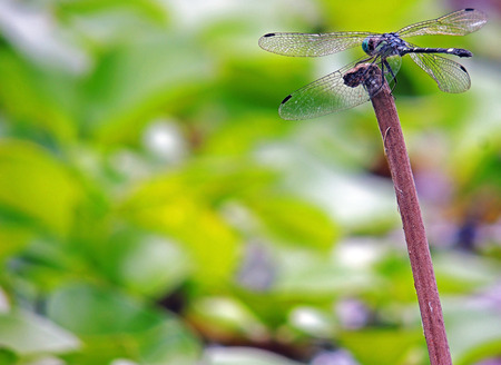 Dragonfly, Anisoptera Class: Hexapoda. Botanical Gardens Merida, Venezuela